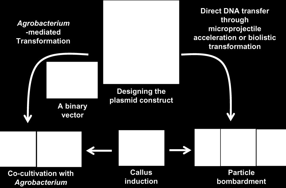 Figure 11. Genetic transformation methods (Biolistics or Gene Gun and Agrobacterium tumefaciens-mediated transformation methods) Source: Alfonso, A.