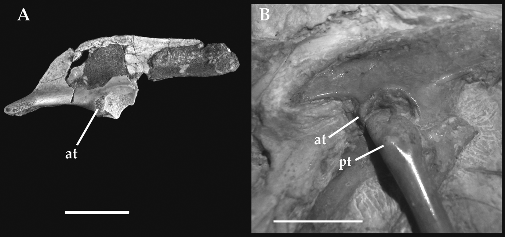 THE PHYLOGENETIC POSITION OF UNENLAGIIDAE 123 Fig. 3 Right pelvic girdle of: A, Buitreraptor gonzalezorum (MPCA, 245; holotype); B, Archaeopteryx lithographica (HMN, 1880). Scale bar 1 cm.