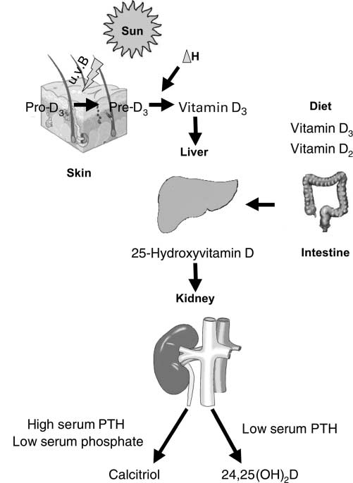 Vitamin D in preventive medicine 553 (wavelength 290 315 nm). In the skin, a plateau of daily vitamin D production is reached after only 30 min of u.v. B irradiation (Holick, 1994).