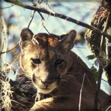 Florida panthers occur in Collier, Glades, and Lee counties as well as Miami-Dade and Monroe counties, although individuals may disperse north of these areas.