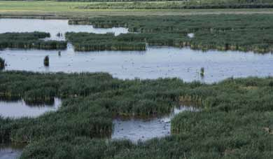 Like bogs, fens also have a high accumulation of peat (greater than 40 centimetres), but because they are less acidic, they can accommodate different vegetation, like sedges, grasses, and wildflowers.