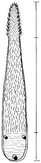 papillae about half of the length of the papillae at the tip (Fig. 33.4). The anterior half of the tongue is triangular in cross section with a ventral keel stiffened by keratinized epithelium.