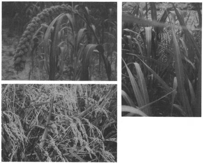 44 KWANG-CHIH CHANG Figure 1.2. Ripened ears of foxtail millet (left, upper), common millet (right), and rice (left, lower) (photograph by K. C. Chang).
