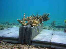 Demonstration project of coral reef restoration - Benefit for