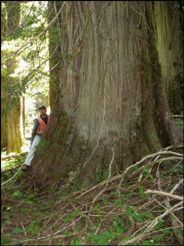 Figure 1 (above left). Large Thuja plicata individuals in Mount Rainer National Park, Washington, USA. Figure 2 (above right). T. plicata often attain greater age and size than co-occurring Pinaceae (primarily Abies amabilis and Tsuga heterophylla in the western Washington Cascade Range).