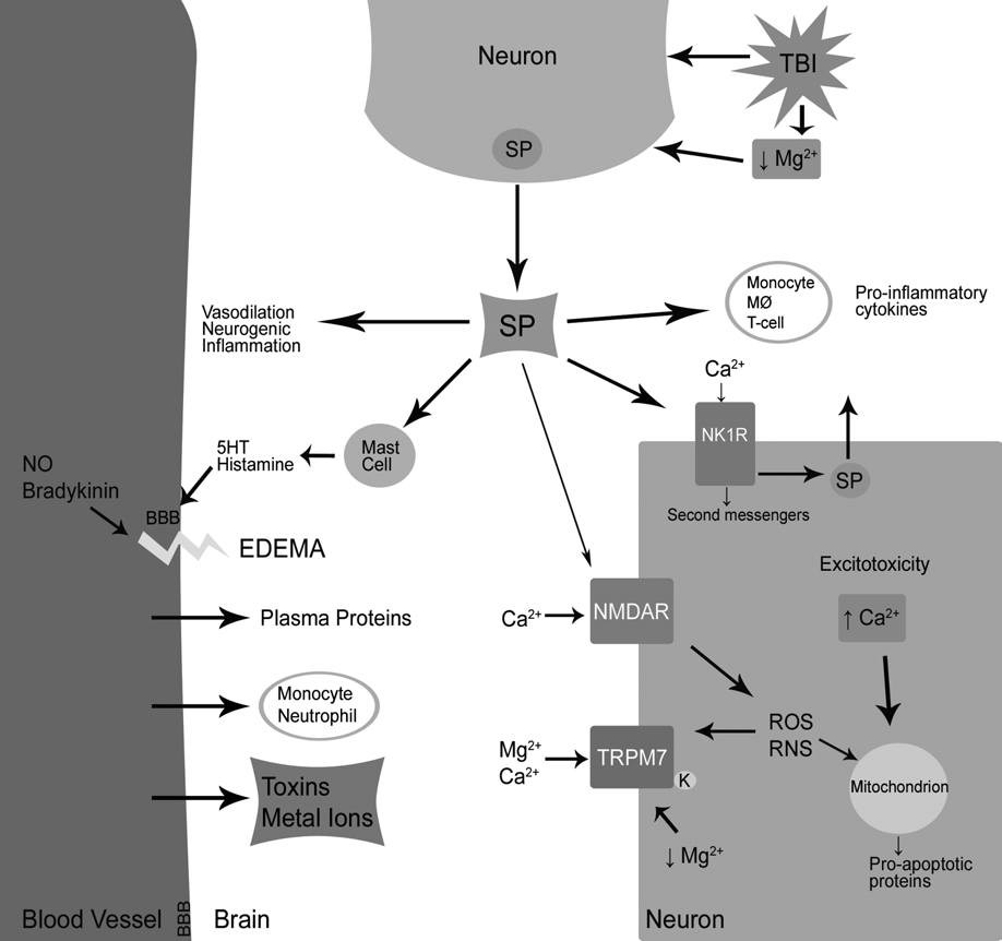 Mg in CNS injury Chapter 12 Figure 1. Potential mechanisms of neuronal damage resulting from Mg 2+ depletion and SP release in TBI. Tymianski, 2005).
