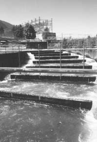 Rushing water attracts fish to fish ladder entrances. Ratepayer-funded hatcheries put millions of salmon smolts into the river each year.
