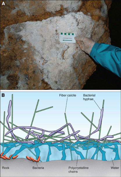 When microbial species induce precipitation of CaCO 3, they become trapped within that deposited mineral matrix.