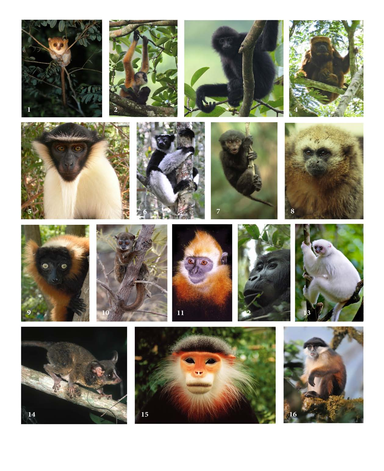 Photos of some of the Top 25 Most Endangered Primates. From top to bottom, left to right: 1. Microcebus berthae (photo by John R. Zaonarivelo); 2. Nomascus nasutus (female)(photo by Xu Yongbin); 3.