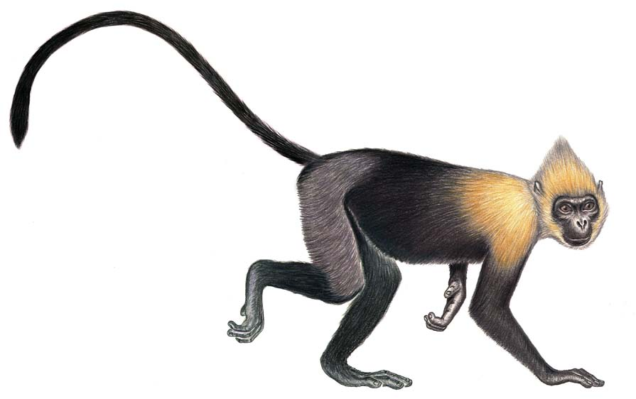 Golden-headed or Cat Ba Langur Trachypithecus poliocephalus (Trouessart, 1911) Vietnam (2000, 2002, 2004, 2006, 2008, 2010, 2012) Richard J.