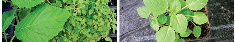modifications appearing in our plant material. The lanterns of the mutant 240 Gy/4025 and 280 Gy/246 often display extreme phenotypic differences as evidenced in Fig.