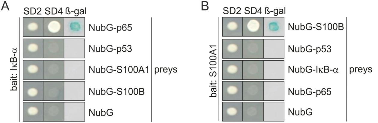 Results control prey proteins p53, S100A1, and S100B.