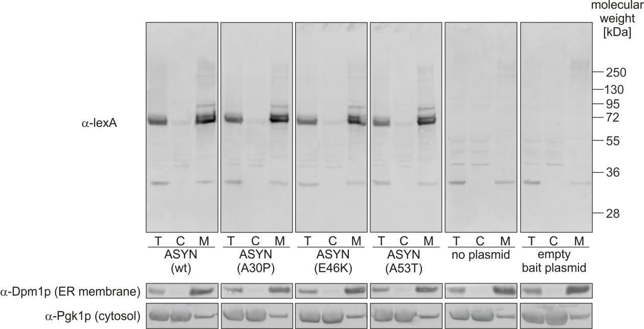 Results Figure 4-15: Investigation of alpha-synuclein bait synthesis in yeast cells.