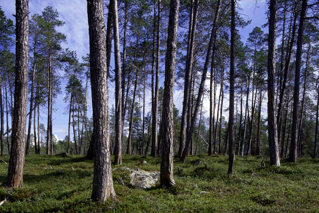 Forest land use in the Inari pilot area Land use Forest land Pine dominated forest land ha % ha % In forestry use
