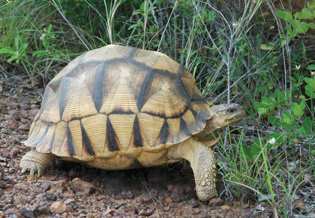 Astrochelys yniphora Ploughshare tortoise, Angonoka Text reviewed by the Tortoise and Freshwater Turtle Specialist Group Population size: 440-770 individuals Range: 25-60km 2 in Baly Bay region,