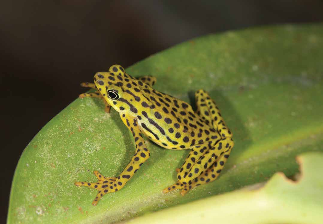 Atelopus balios Rio Pescado stubfoot toad Text reviewed by the Amphibian Specialist Group Population size: Unknown Range: Azuay, Cañar and Guyas provinces, south-western Ecuador Threats: