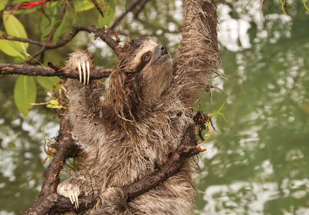 Bradypus pygmaeus Pygmy three-toed sloth Text reviewed by the Anteater, Sloth and Armadillo Specialist Group Population size: < 500 individuals Range: Approximately 1.3km 2 1.