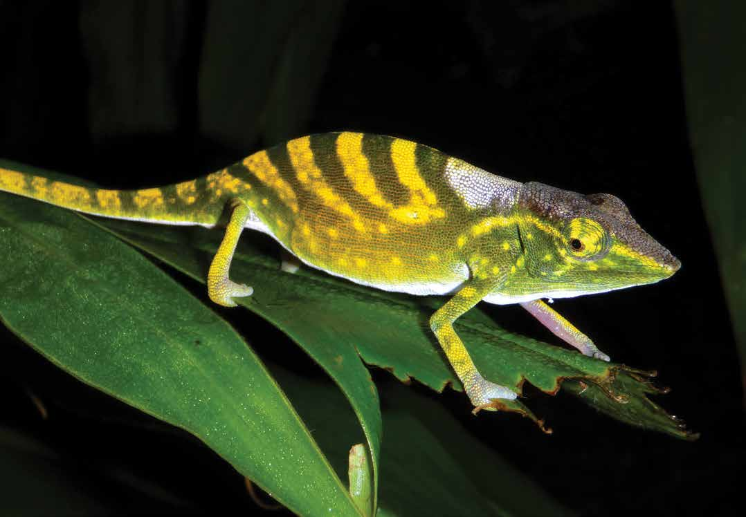 Calumma tarzan Tarzan s chameleon Text reviewed by the Chameleon Specialist Group Population size: Unknown Range: < 10km 2 in Anosibe An Ala region, eastern Madagascar Primary threats: Habitat