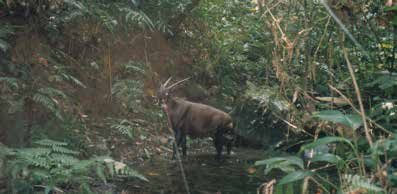 far afield as Bangladesh and southern China through to peninsular Malaysia and the islands of Sumatra and Java in Indonesia, the Javan rhino (Rhinoceros sondaicus) is now the rarest of all the living