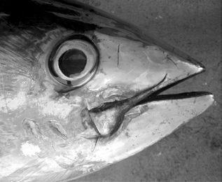 Yellowfin tuna eyes (in vivo) show dramatic (.10x increase) increases in light sensitivity (response to brief single white light flashes) from day to night (Panel A).