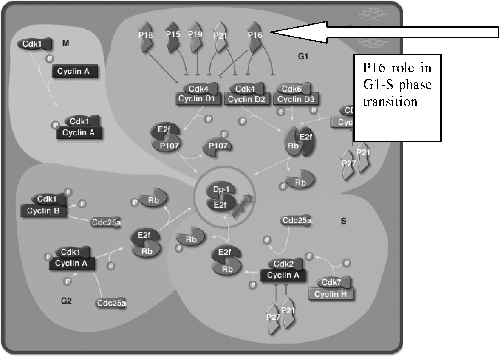 ASPARTAME: A SAFETY EVALUATION 725 FIG. 1. The role of p16 in the G1-S phase transition of the cell cycle (http://www.biocarta.com/pathfiles/m cellcyclepathway. asp).