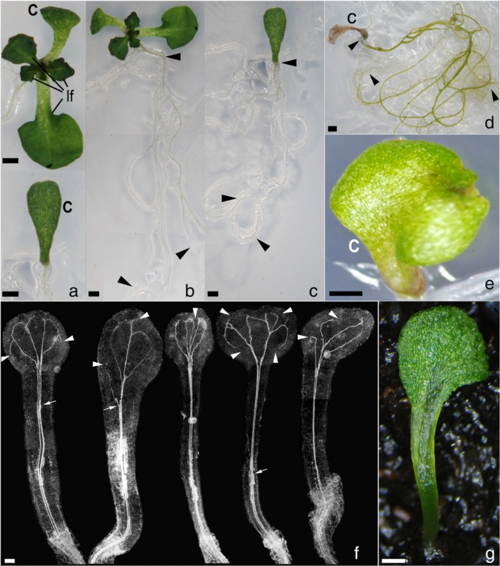Fiesselmann et al. BMC Plant Biology (2015) 15:171 Page 3 of 13 Fig. 1 Morphology in SAM-less rpk1 monocot seedlings.