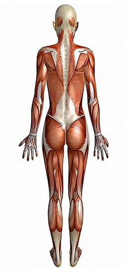 WHAT IS THE MYOFASCIAL SYSTEM? The Myofascial System is a superficial fascia (a thin sheath of silvery tissue) that wraps around the outer surface of muscles and individual muscle fibers.