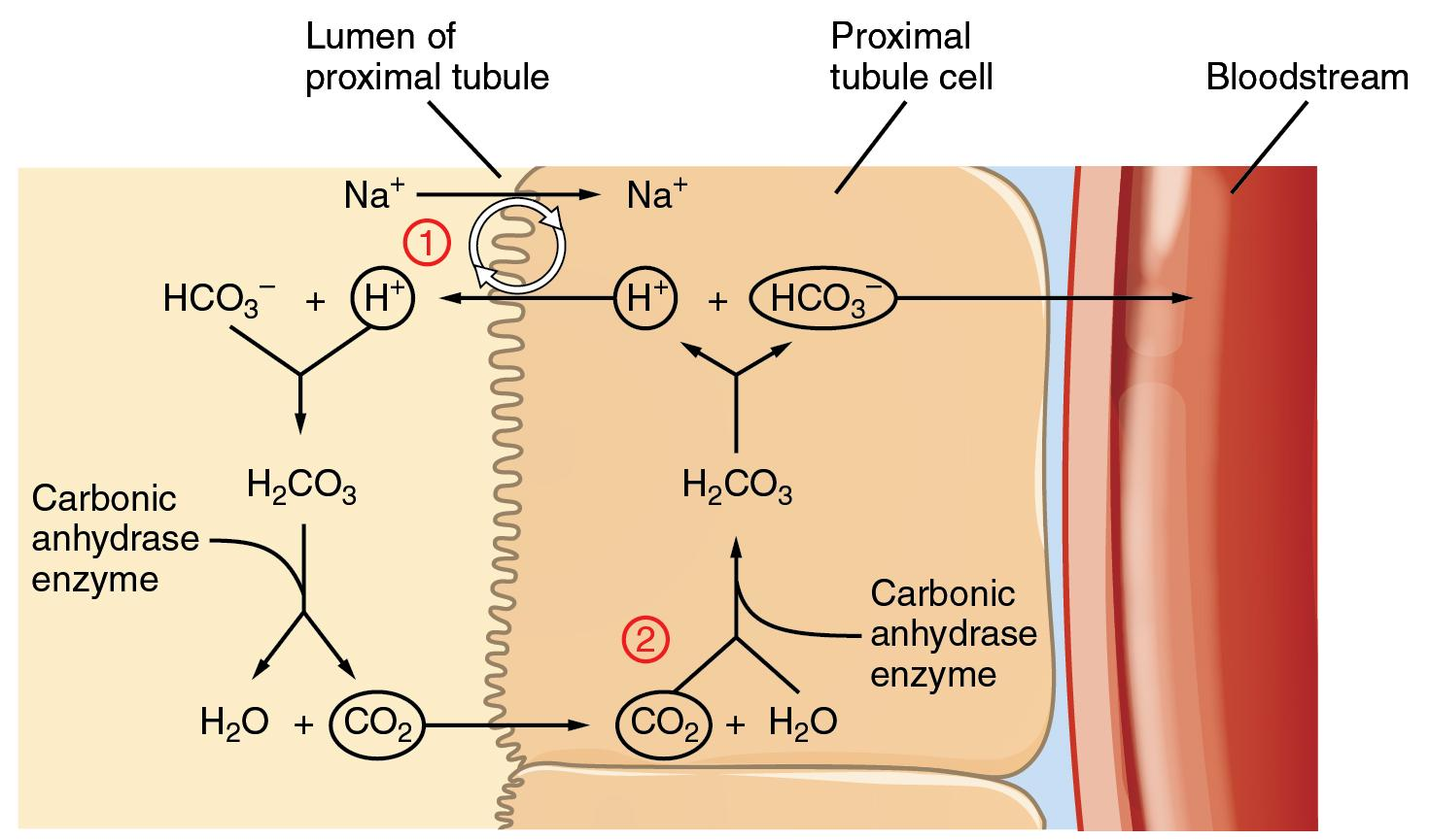 The role of carbonic anhydrase The enzyme does not change the equilibrium, but