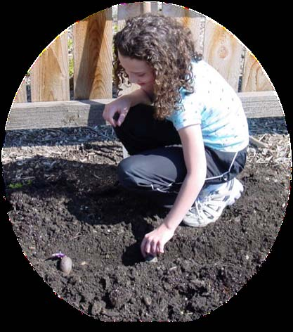 Planting and Care of Potatoes in Your Garden Beside the row, apply 1/3 pound per 50 feet of row of 46 0 0 (urea) fertilizer one week after plant emergence and again between 4 and 6 weeks after