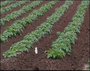 The soil should be cultivated 6 to 8 inches deep in the spring, and large soil clods should be broken up or removed before planting. Plant potatoes when soil temperatures are above 45 F.