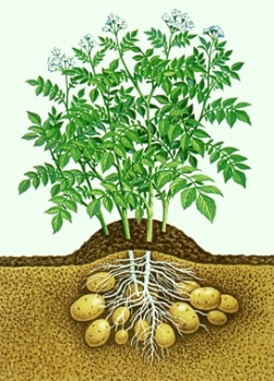 Five pounds of seed potatoes should plant 40 feet of row with 12 inches between seed pieces. You can expect to harvest 3 to 5 pounds of potatoes per potato plant.