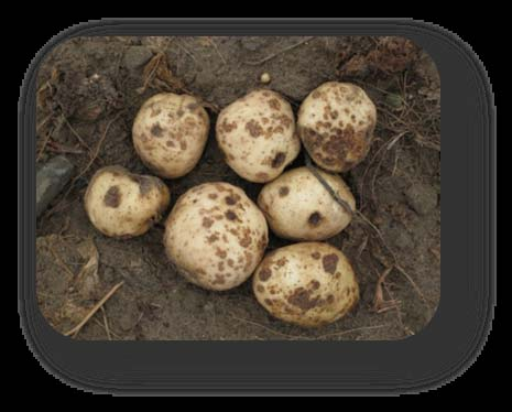Planting and Care of Potatoes in Your Garden Avoid planting potatoes in the same location year after year.