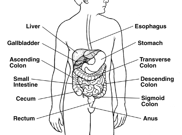 The colon begins at the end of the small intestine on the right side of the body at a place called the cecum.