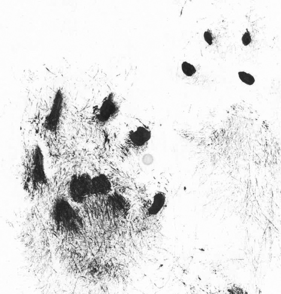 FERRET TRACKS As with weasel and stoats, ferrets have very fine hairs covering the underside of their feet.