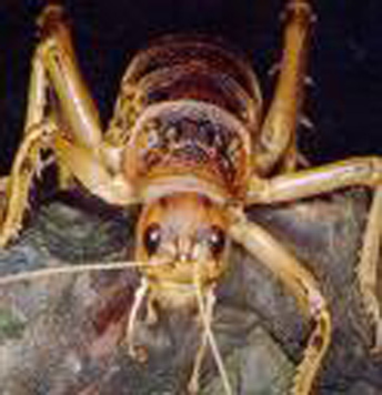 In cave Weta three of the four pads on the