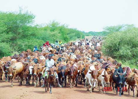 7 Environmental Governance and Pastoralism: defining and securing pastoralist rights in the Sahel A well-managed cattle migration in Darfur.