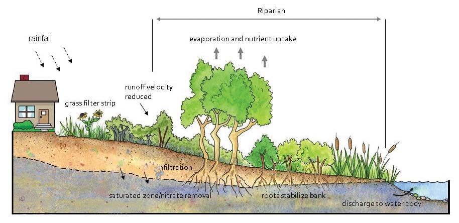 > setbacks and buffers What are Riparian Areas? If we get back to the basics, riparian areas are the place where water and land meet and interact.