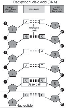 I. PEDAGOGY A. Learning Objectives Students will be able to describe the structure of the DNA molecule. Students will be able to explain the rules of base pairing.