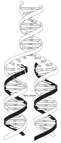 for exact copies of DNA to be made. This process is called DNA replication.