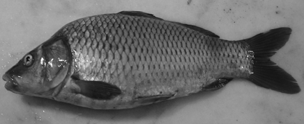 Number of specimens: 18 Diagnostic characteristics: SL: 126.72 (114.69-158.51) mm, SL/BD: 3.85 (3.26-4.52), SL/HL: 3.99(3.66-5.66), SL/HD: 8.07 (7.52-9.73), SL/DFL: 8.63(7.75-10.73), SL/DFD: 5.28 (4.