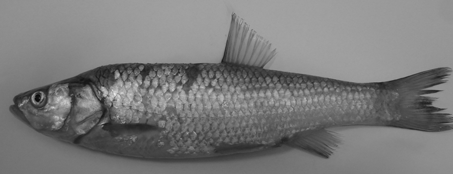C. Kara et al. / Turk. J. Fish. Aquat. Sci. 10: 111-122 (2010) 115 Squalius kottelati (Turan et al., 2009) Number of specimens: 5 Diagnostic characteristics: SL: 170.57(100.36-196.87) mm, SL/BD: 3.