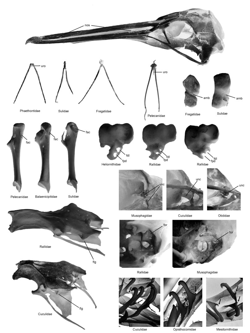 Higher-level phylogeny of birds 63 (a) (b) (c) (d) (e) (f) (g) (h) (i) (j) (k) (l) (m) (p) (q) (r) (n) (s) (t) (o) (u) (v) (w) Molecular analyses indicate that the Ôwaterbird assemblageõ is closely
