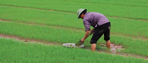 OXFAM COUNTRY REPORTS relationships among transplanting rates, water regulation, various fertilizer applications, and the performance of established rice varieties under SRI management.