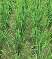 OVERVIEW How is SRI an innovation? More than 90% of the world s rice production is harvested from irrigated or rainfed lowland rice fields.