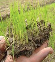 the growing season. SRI practices and principles introduce some simple but productive changes in how rice can be grown in these systems.