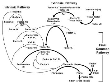 FIGURE 1. Coagulation cascade. a = activated factor; Ca = calcium; PL = phospholipid. Adapted from Biochemistry, 2 with permission from American Chemical Society, copyright 1991.