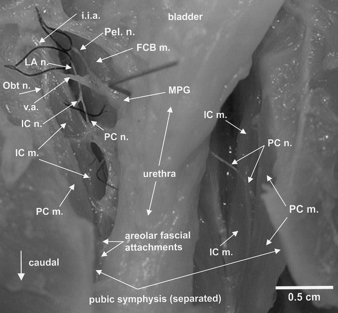 BREMER ET AL. 1037 Fig. 4. Ventral view of the abdomen after division of the pubic symphysis, showing intrapelvic skeletal muscles and their nerves in relationship to pelvic viscera.