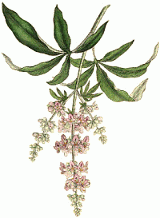 Vitex agnus castus is a Mediterranean plant whose berries have been used as medicine for centuries.