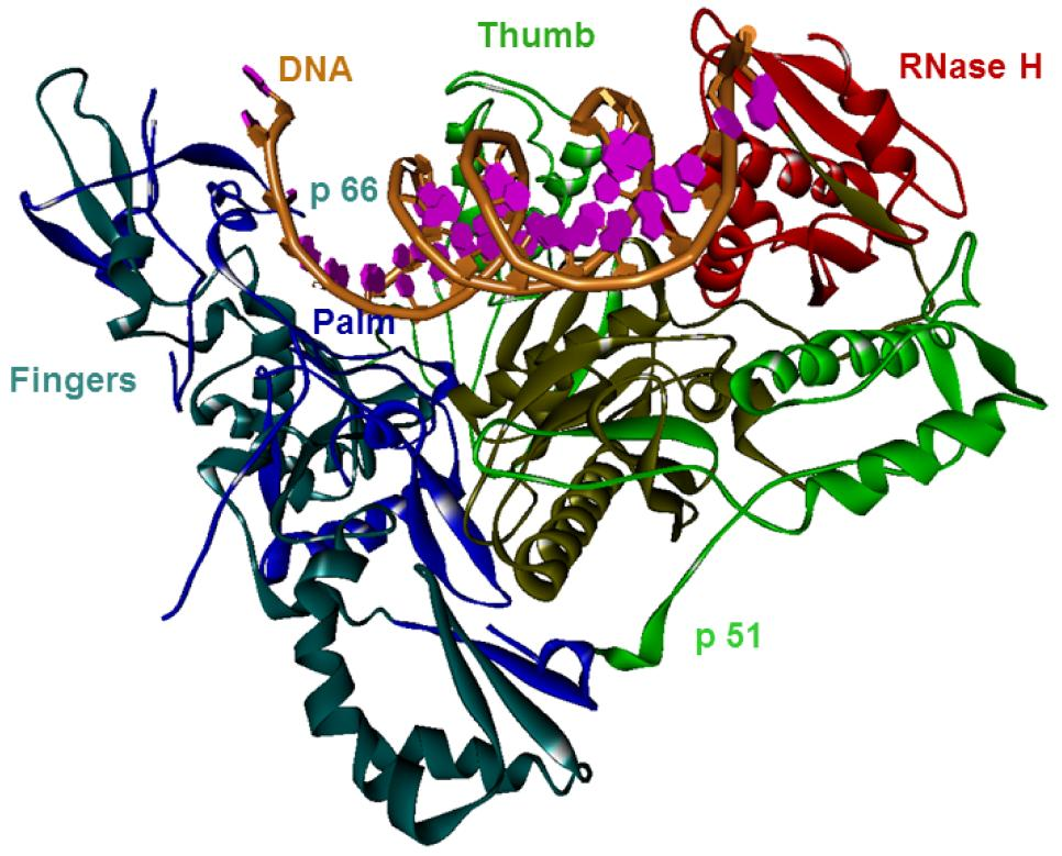 Example 3D-Structure of HIV-1 reverse transcriptase in the complex with DNA (PDB