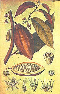 Cocoa Growing Countries Cocoa powder and chocolate are made from the dried seeds that are found in pods on the cacao tree.